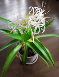 Plant_okinawa